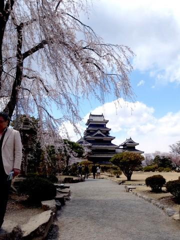 松本城の桜は満開でした。